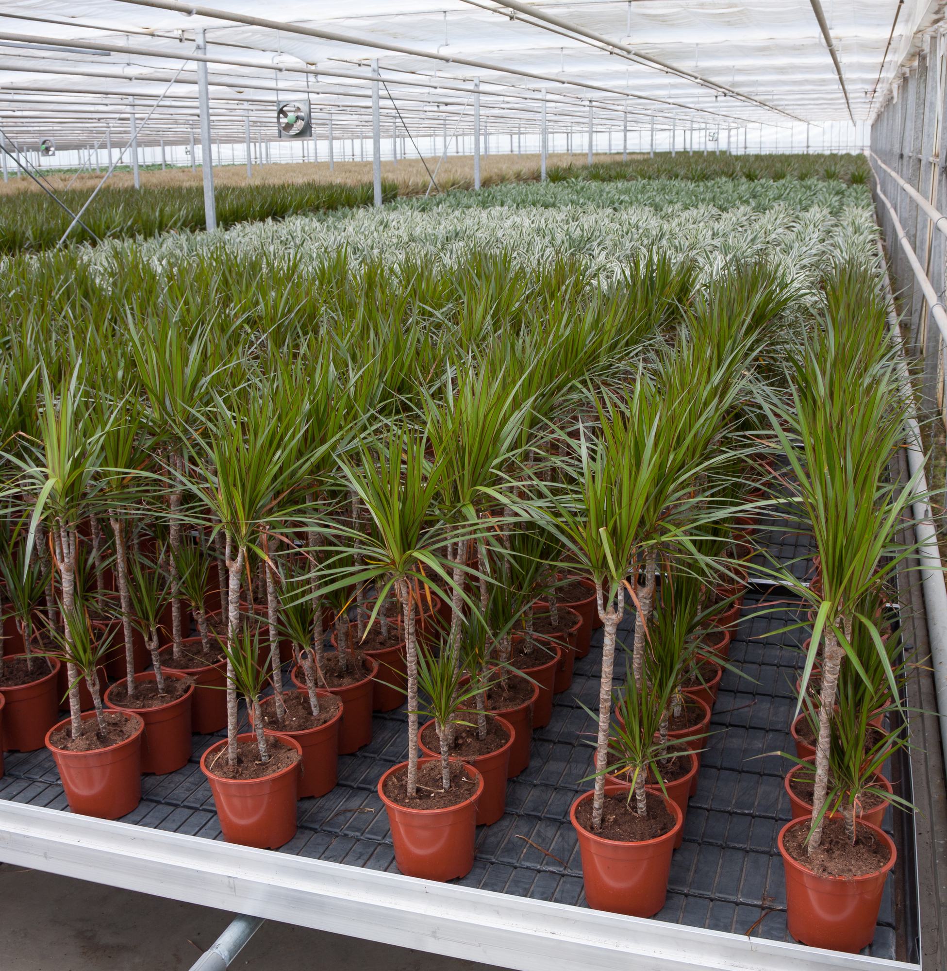 Dracaena in a greenhouse (the Netherlands)